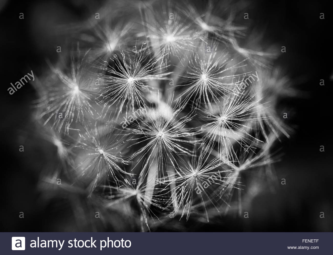 Monochrome, black and white close up detail of dandelion seed head, highlighting the intricate detail and fragility - Stock Image