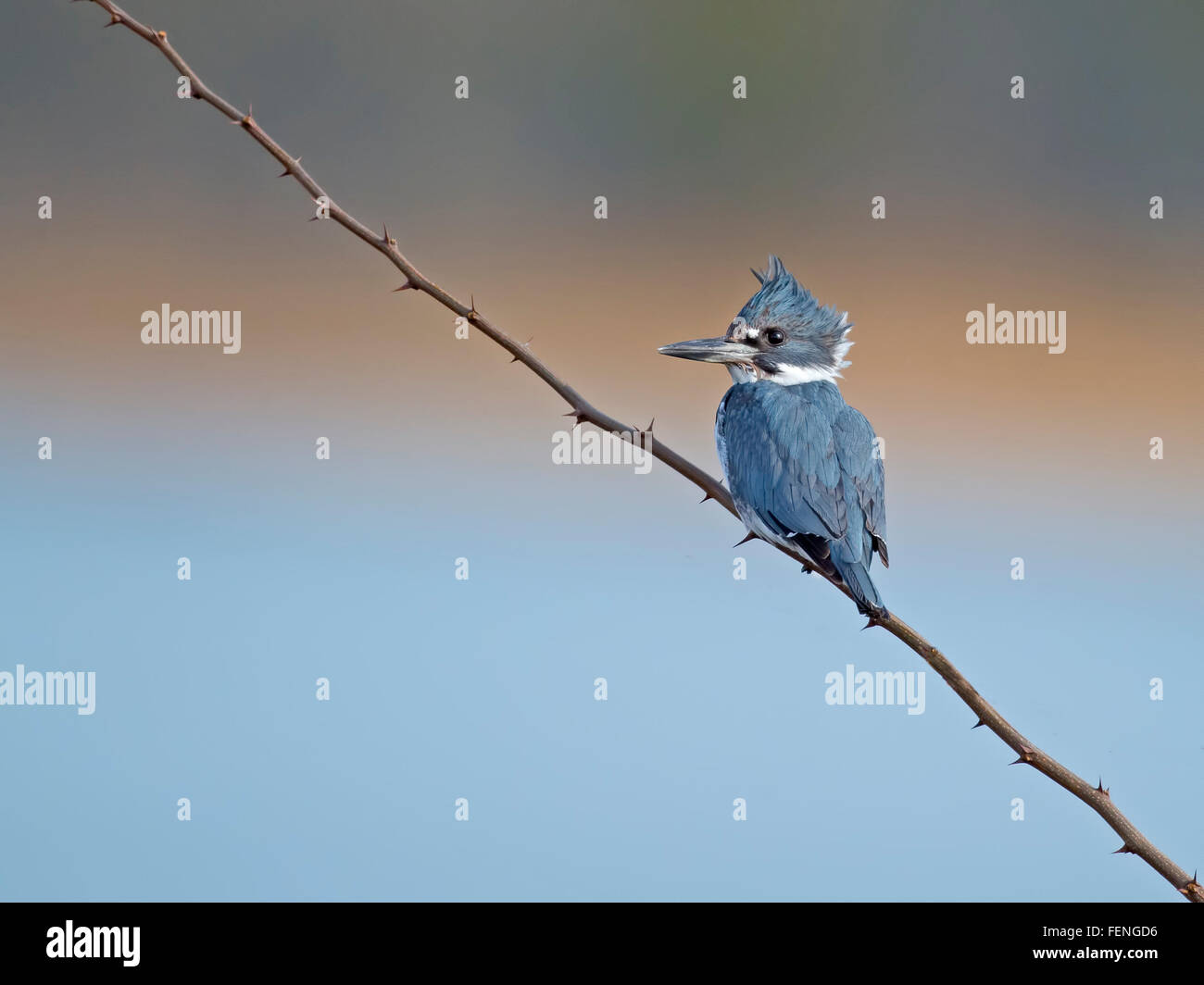 Male Belted Kingfisher - Stock Image