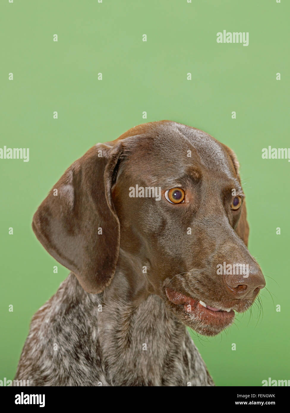 Close-Up Of German Shorthaired Pointer - Stock Image