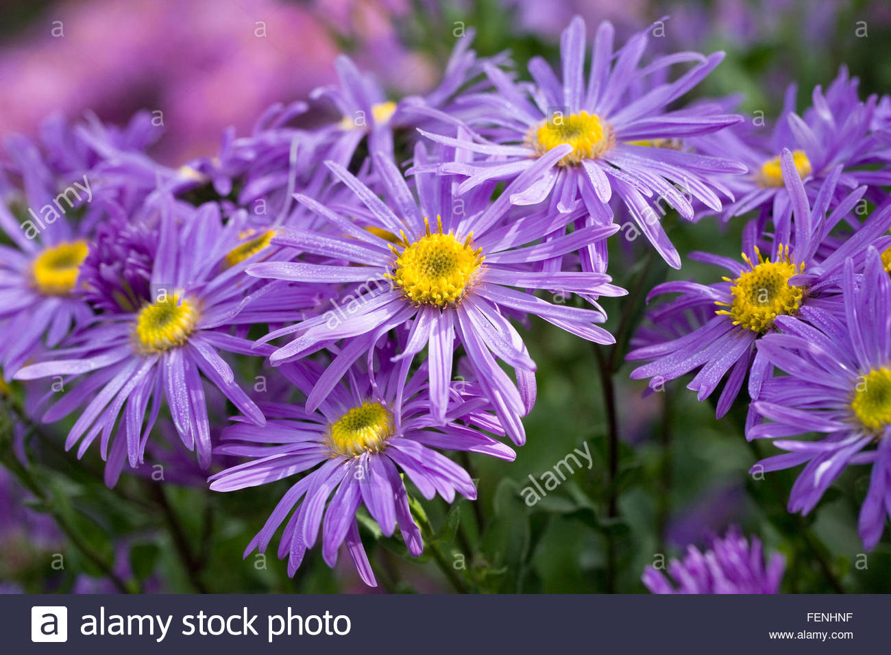 Herbaceous Perennial Plant September Autumn Late Daisy Flower Mauve