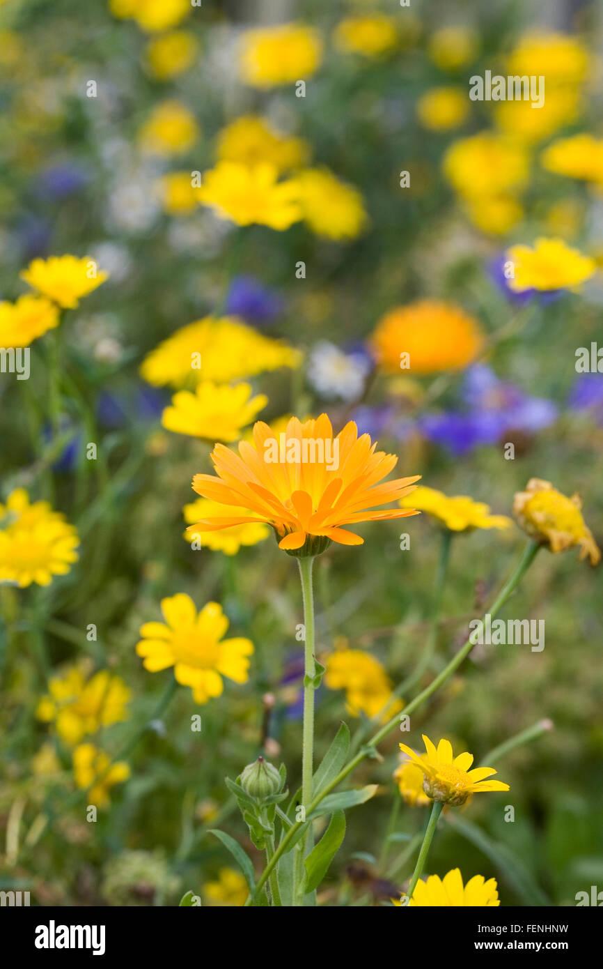 Calendula officinalis and Glebionis segetum. English marigolds amongst Corn marigolds. - Stock Image