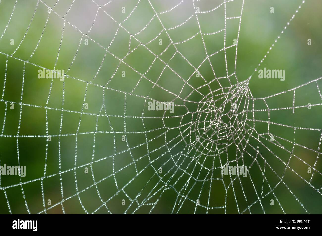Spider's web, with dew, close-up - Stock Image