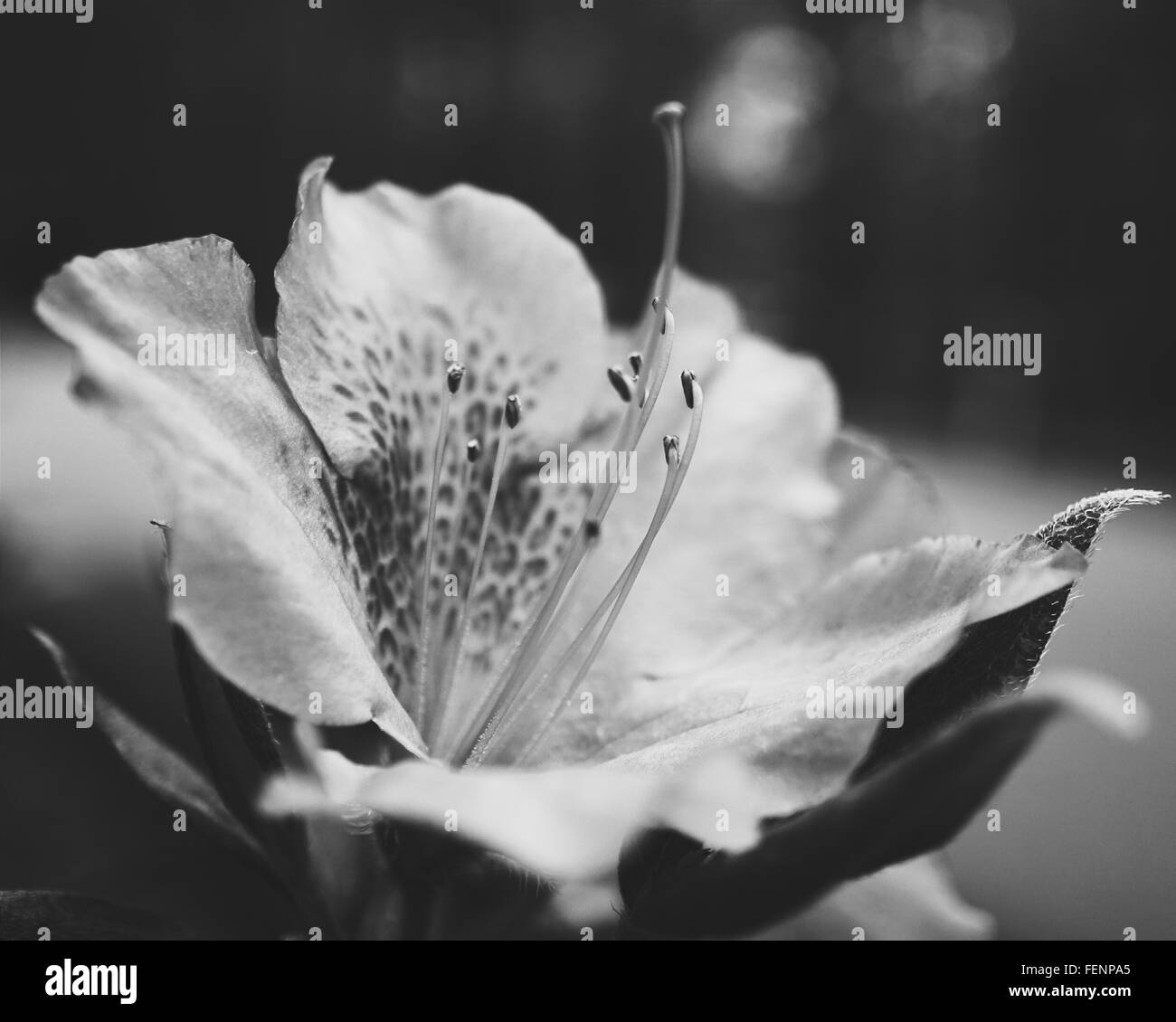 Orchid flower black and white stock photos images alamy close up view of orchid flower stock image mightylinksfo