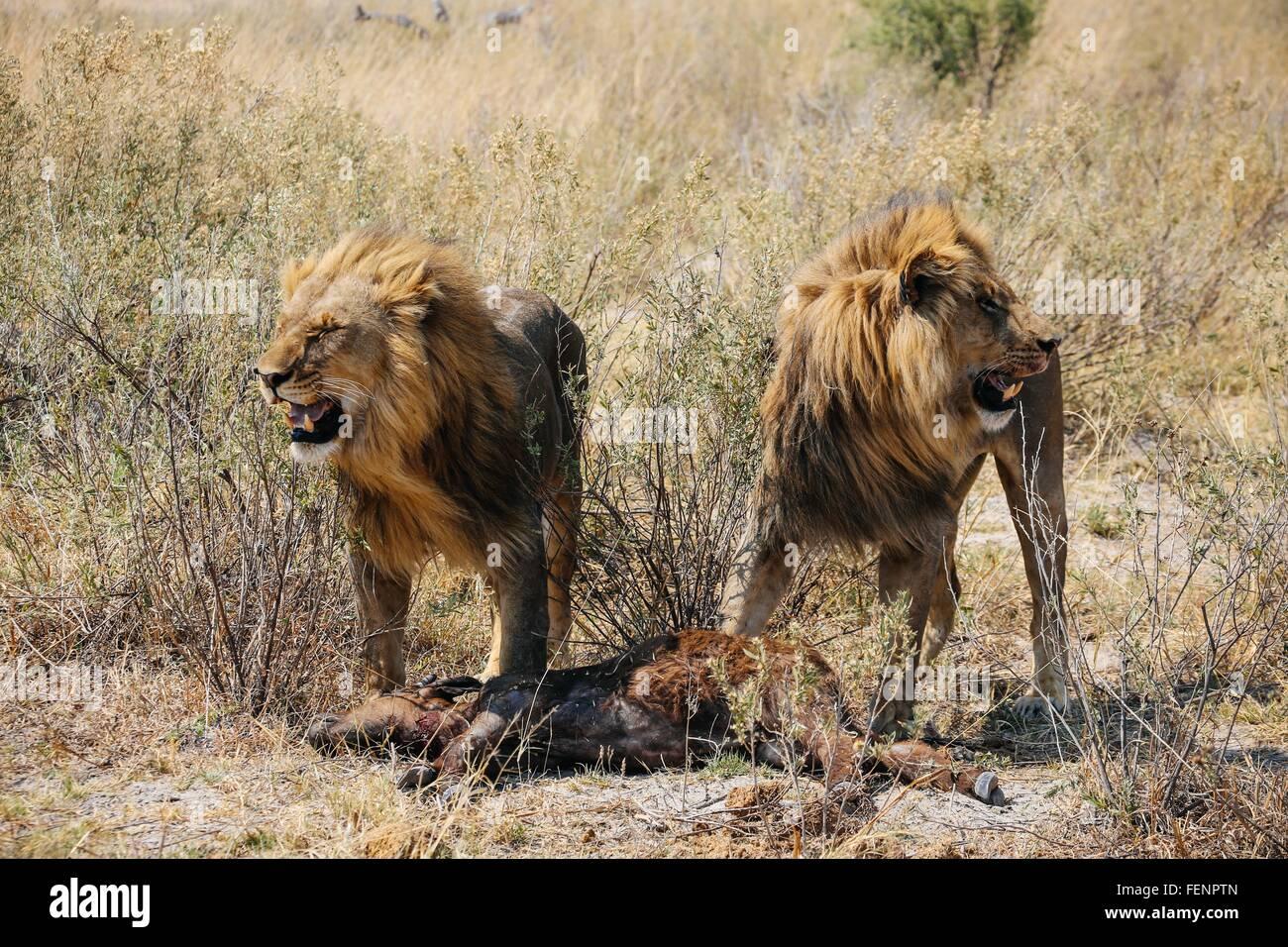 Lions with kill (buffalo calf), Okavango Delta, Botswana - Stock Image
