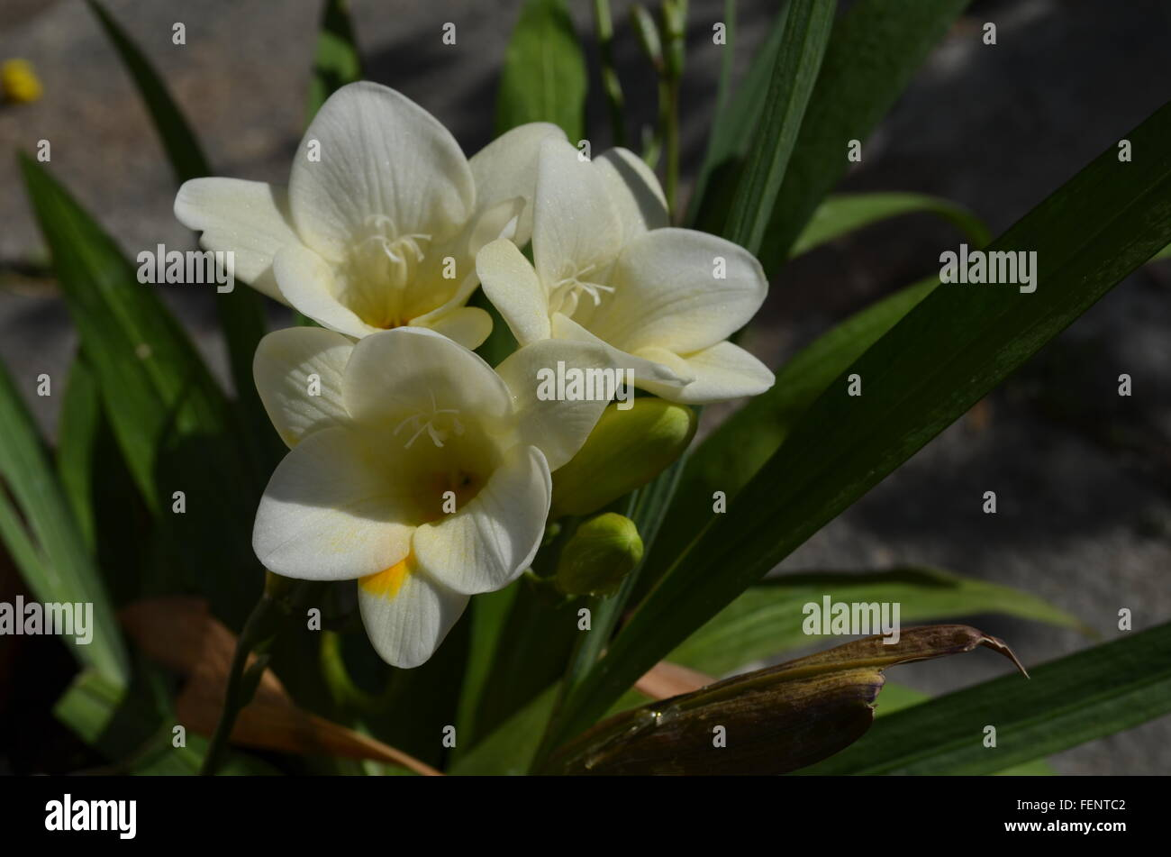 Close up of white freesia flowers in pot stock photo 95137170 alamy close up of white freesia flowers in pot mightylinksfo
