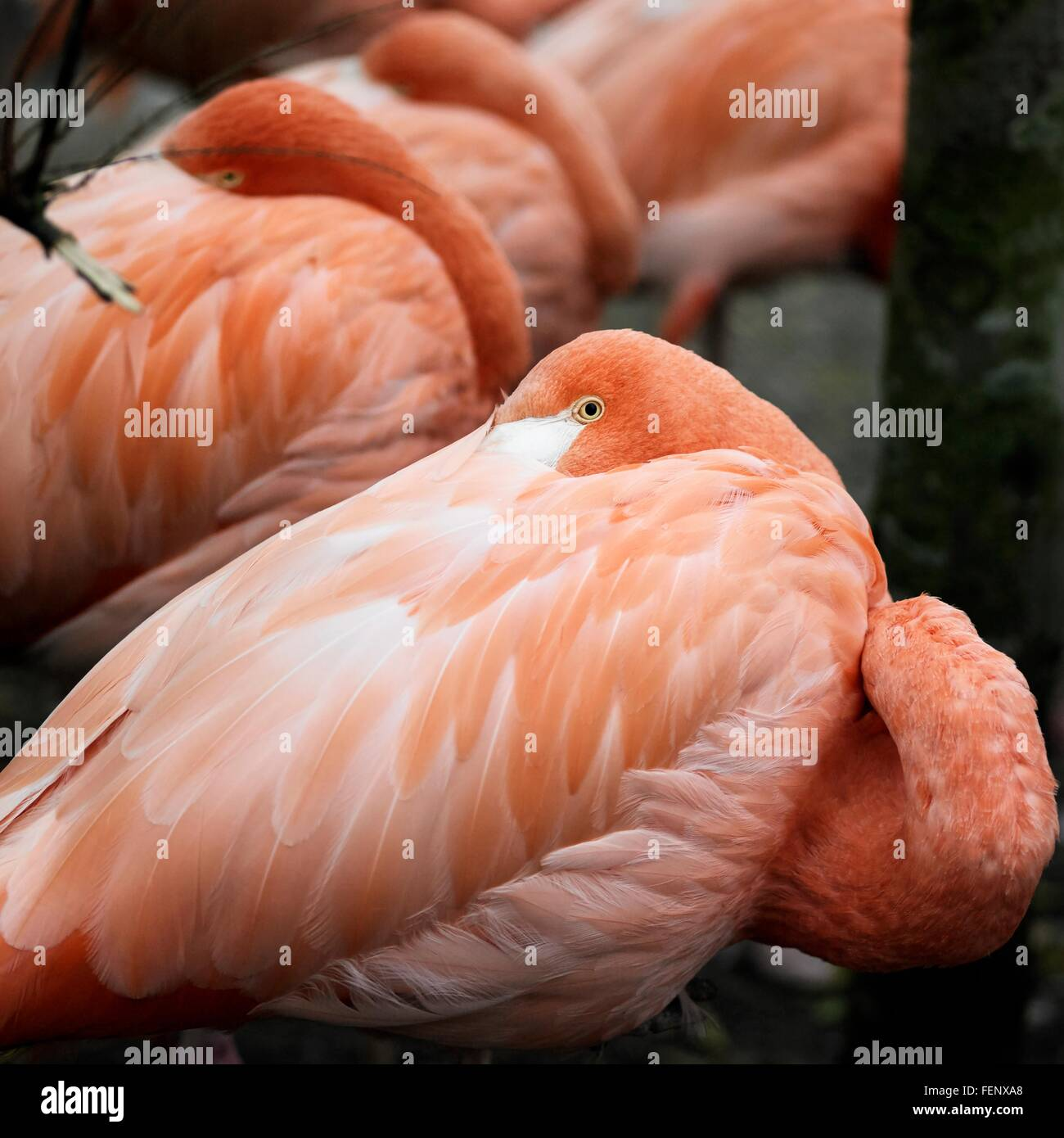 Close up of peering pink flamingo with its head tucked in over its shoulder - Stock Image