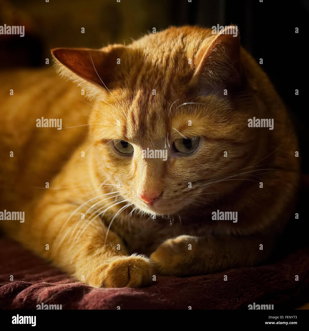 Tabby cat resting on pad with evening sun coming in from window - Stock Image