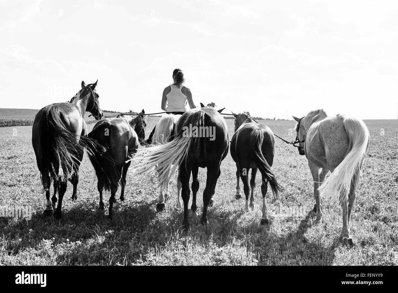 B&W rear view image of woman riding and leading six horses in field - Stock Image