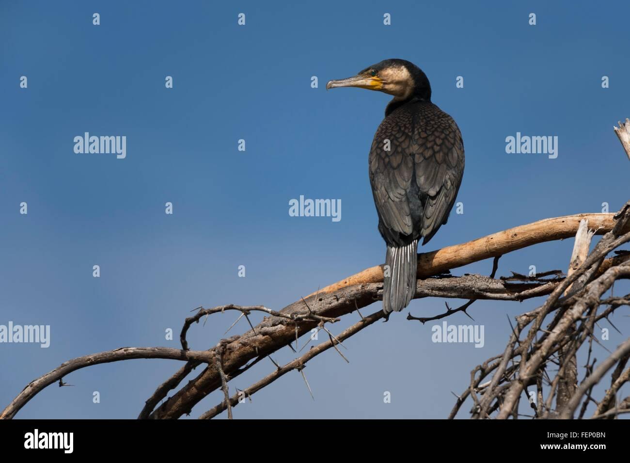 Great cormorant (Phalocrocorax carbo), Lake Naivasha, Kenya, Africa - Stock Image
