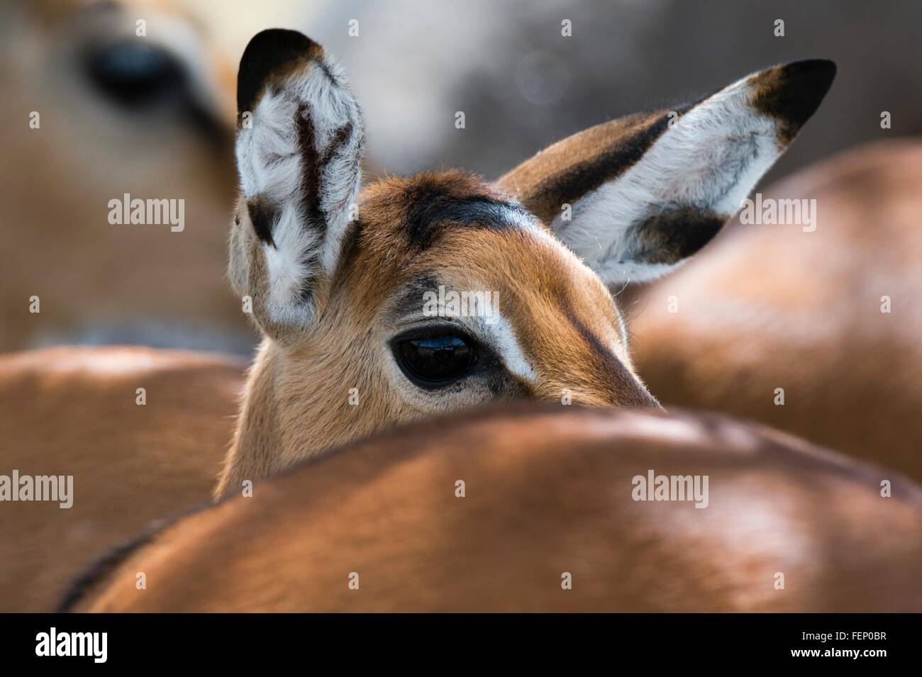 Impala (Aepyceros melampus), Lake Nakuru National Park, Kenya Stock Photo