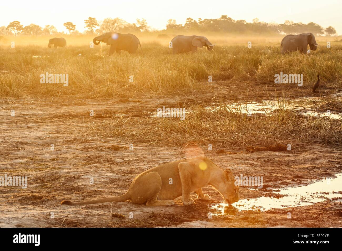 Lioness drinking water, elephants in background, Botswana - Stock Image