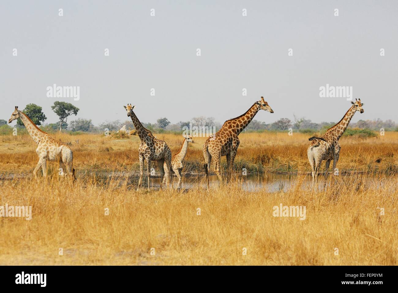 Tower of giraffes standing in water pan, Botswana - Stock Image