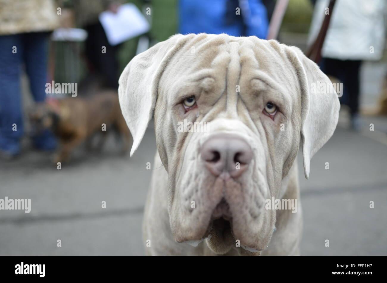 Close-Up Of Neapolitan Mastiff - Stock Image