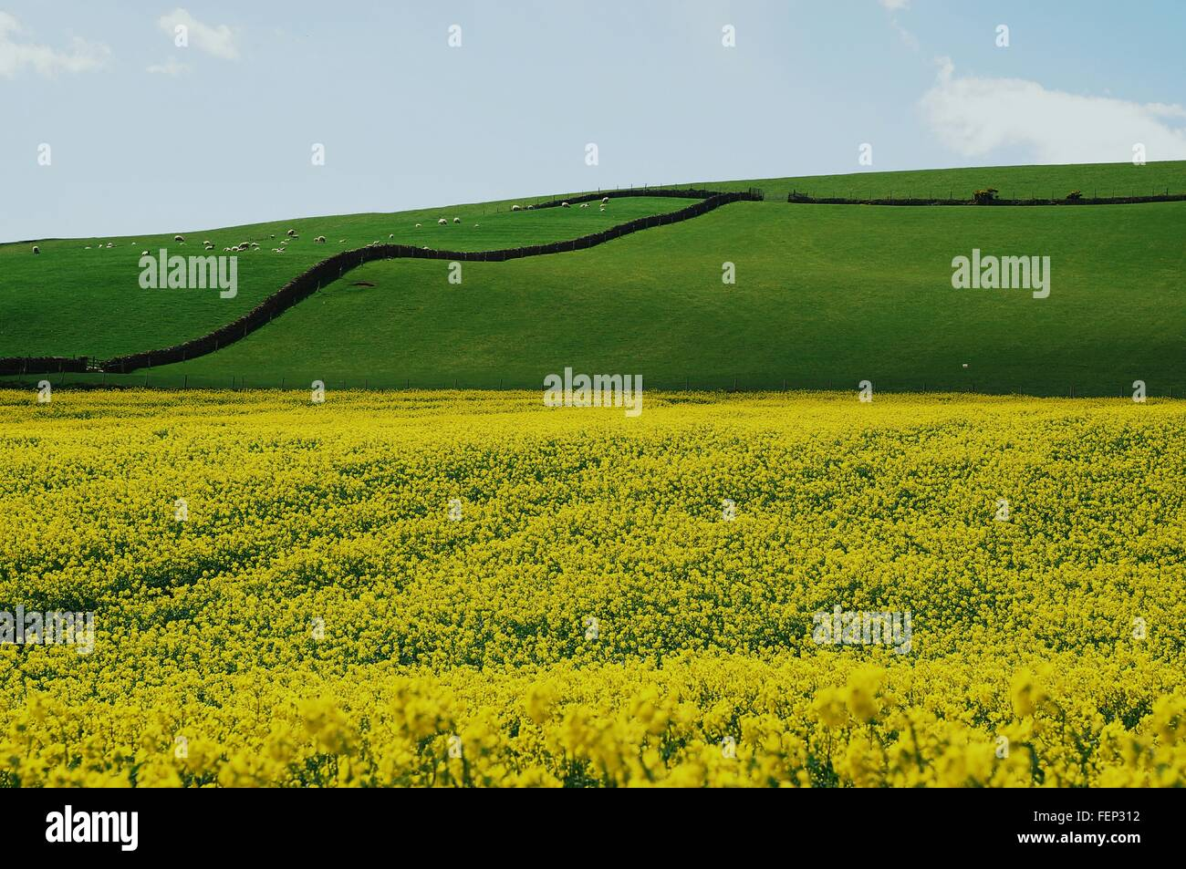 Scenic View Of Yellow Flowers With Grass In Farm Against Sky Stock