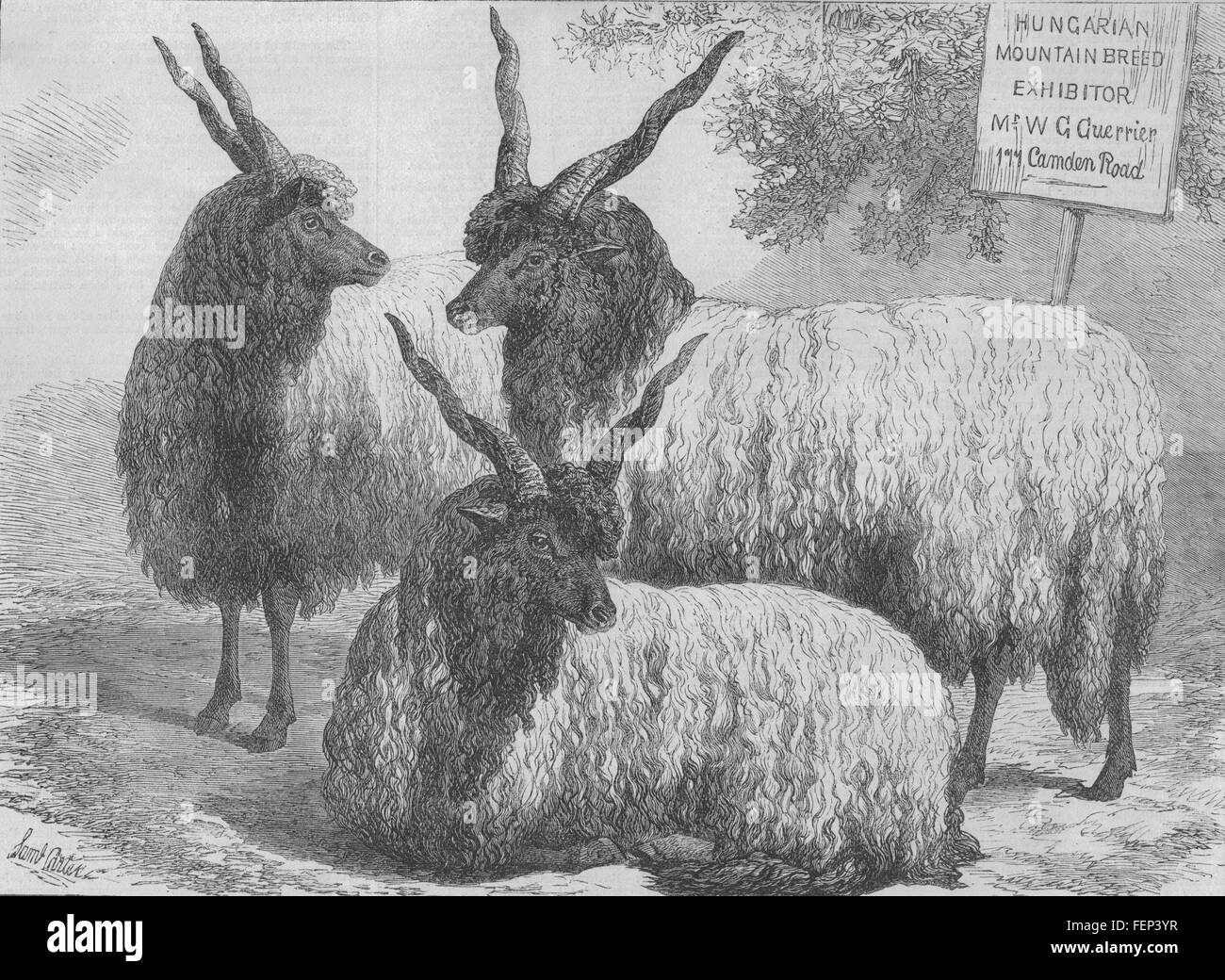 SMITHFIELD SHOW Hungarian Mountain sheep. 177 Camden Road 1868. Illustrated London News - Stock Image