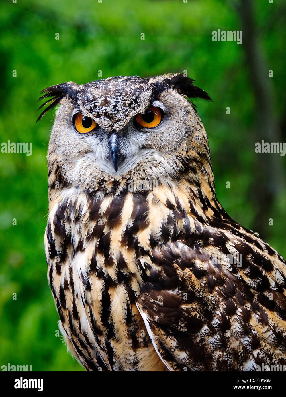 Frontal view of Great Horned owl.  Taken while in captivity - Stock Image