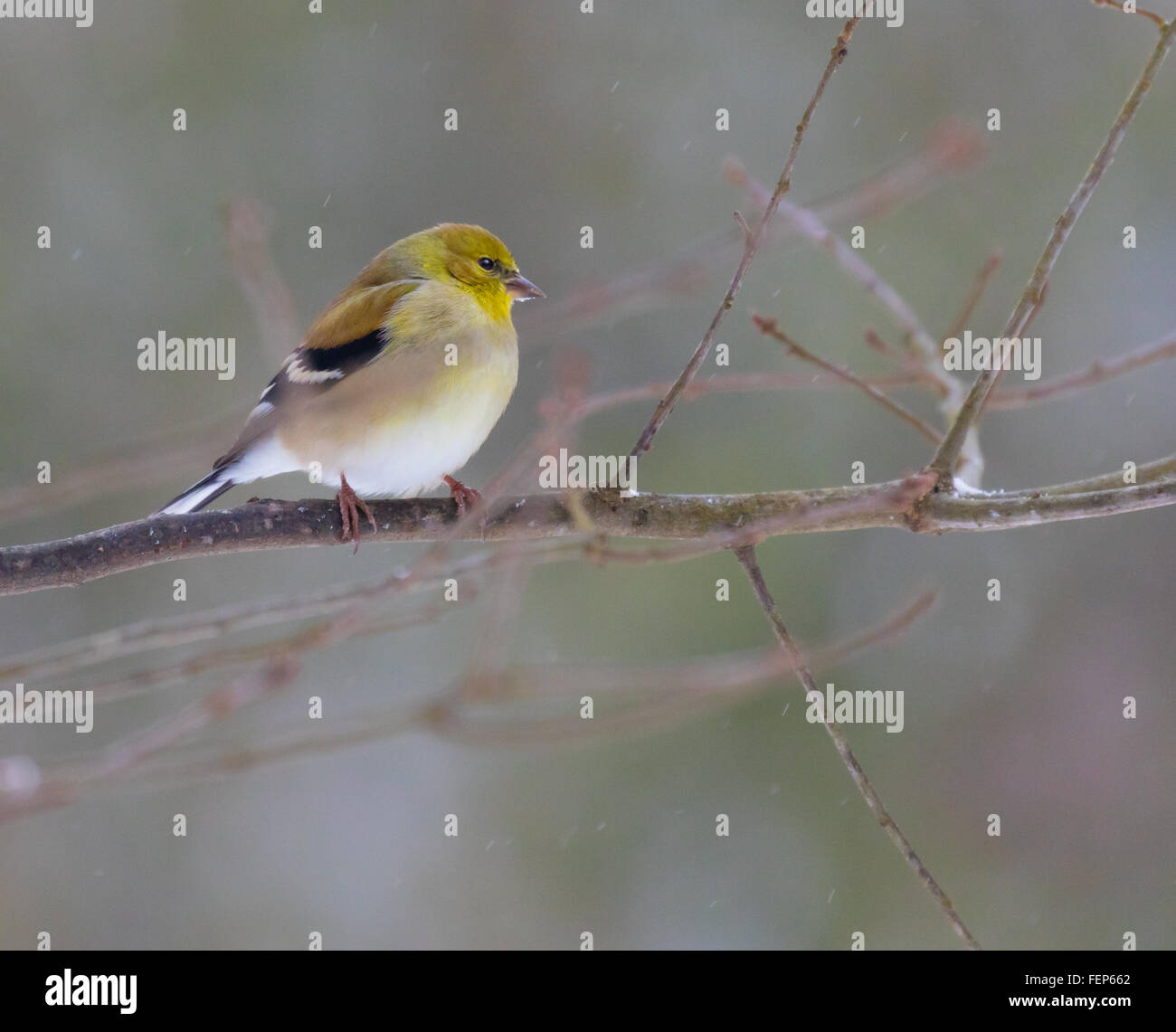 An American Goldfinch (Spinus tristis) perched on a branch during a snow storm - Stock Image