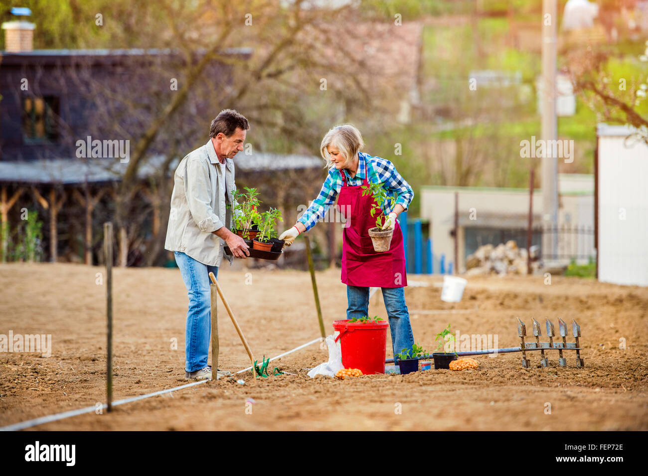 Senior couple planting seedling into the ground in back yard - Stock Image