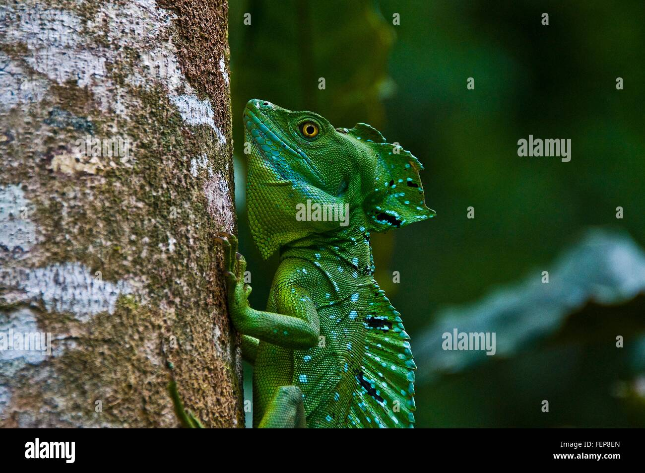 Side view of plumed or double crested basilisk (Basiliscus plumifrons) gripping tree trunk, Costa Rica Stock Photo