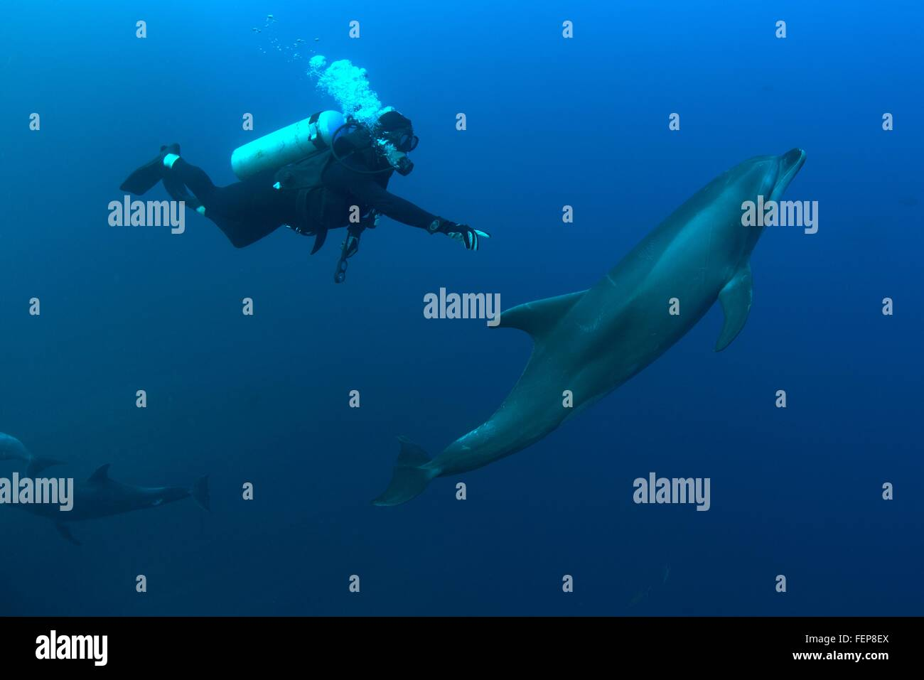 Underwater view of diver reaching for bottlenose dolphin, Revillagigedo Islands, Colima, Mexico Stock Photo