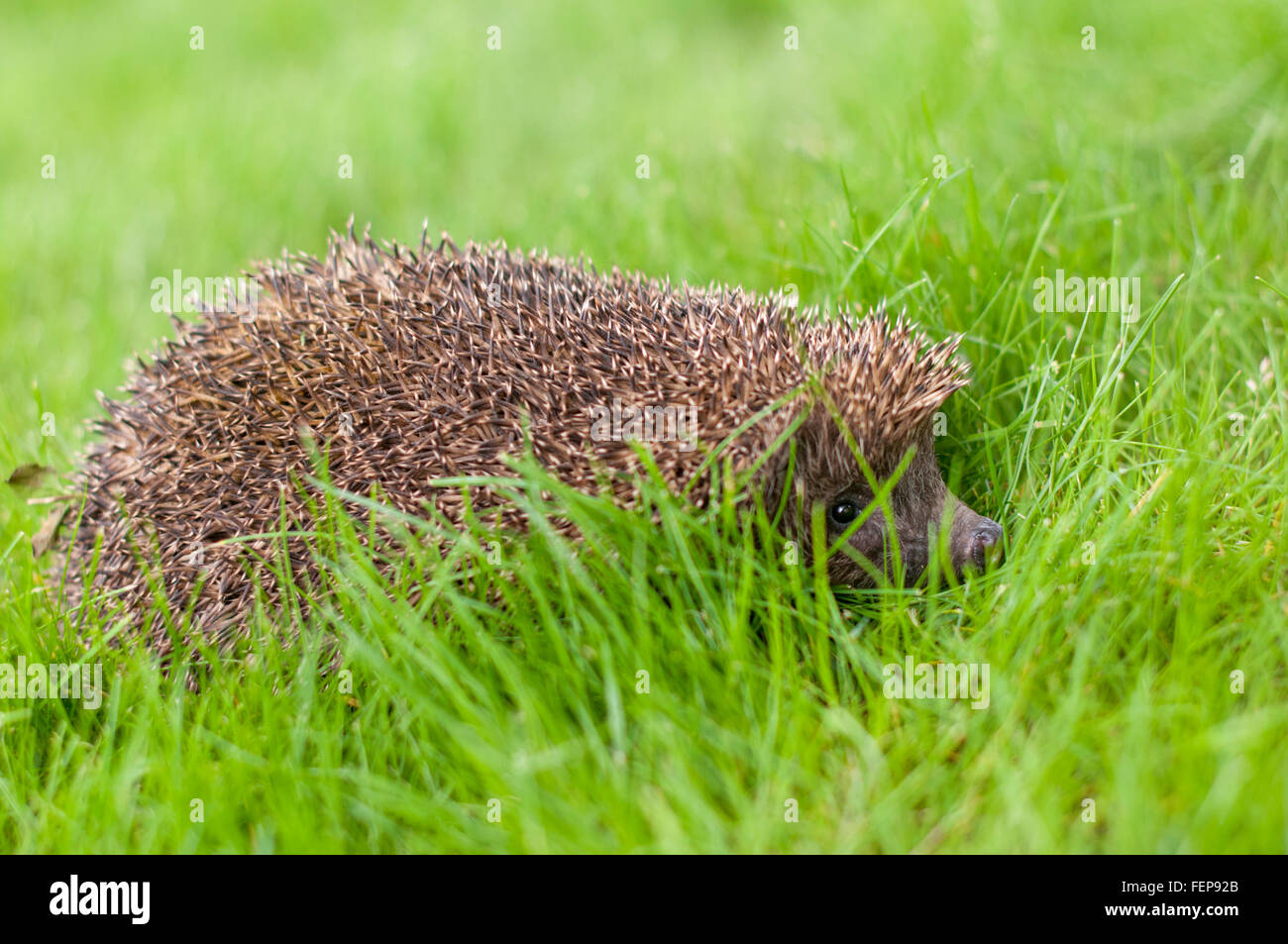 A Hedgehog in the grass- profile - Stock Image