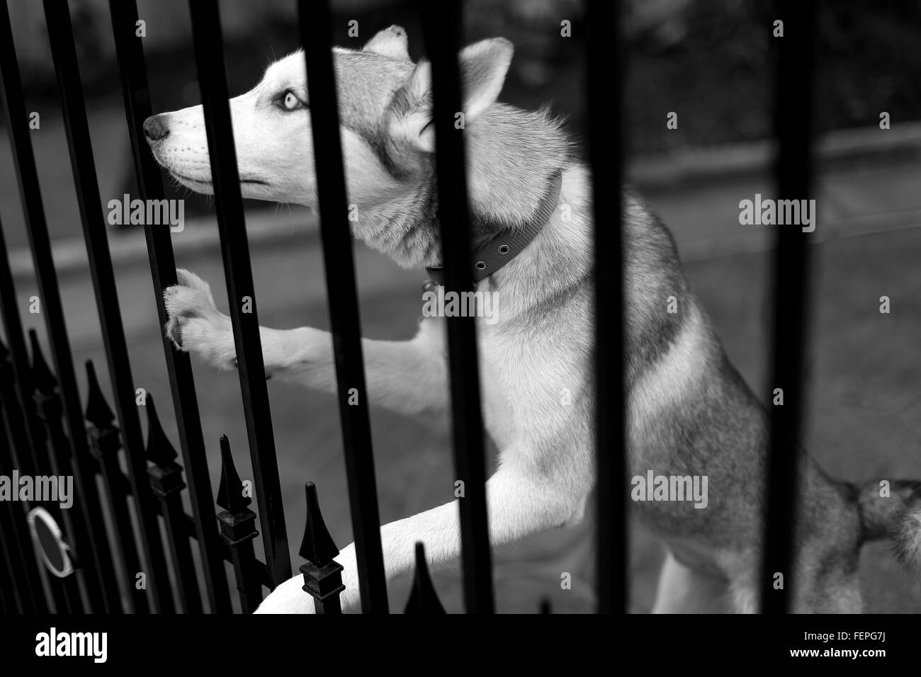 Side View Of Siberian Husky Rearing Up On Metal Gate - Stock Image