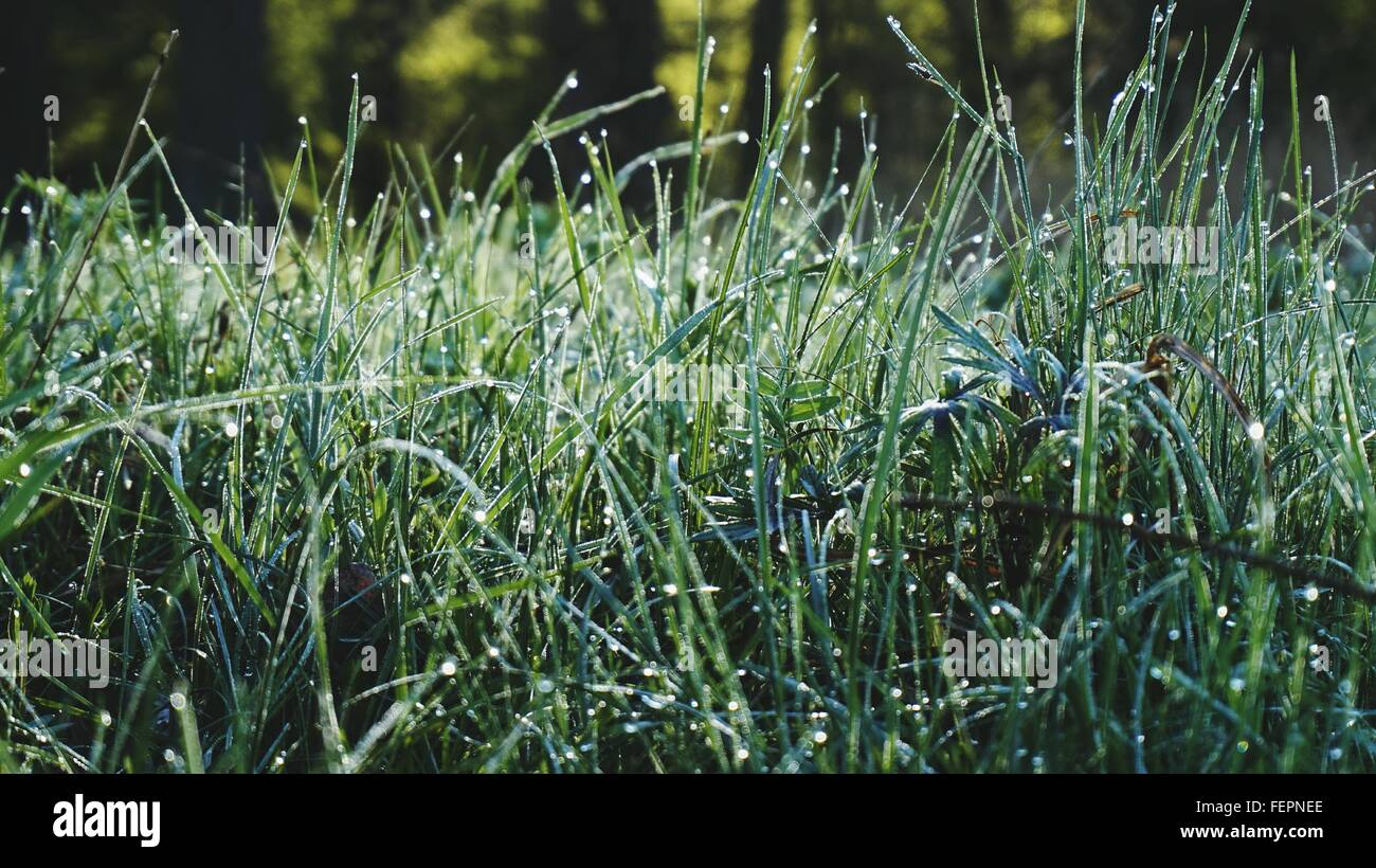Drops On Blade Of Grass - Stock Image