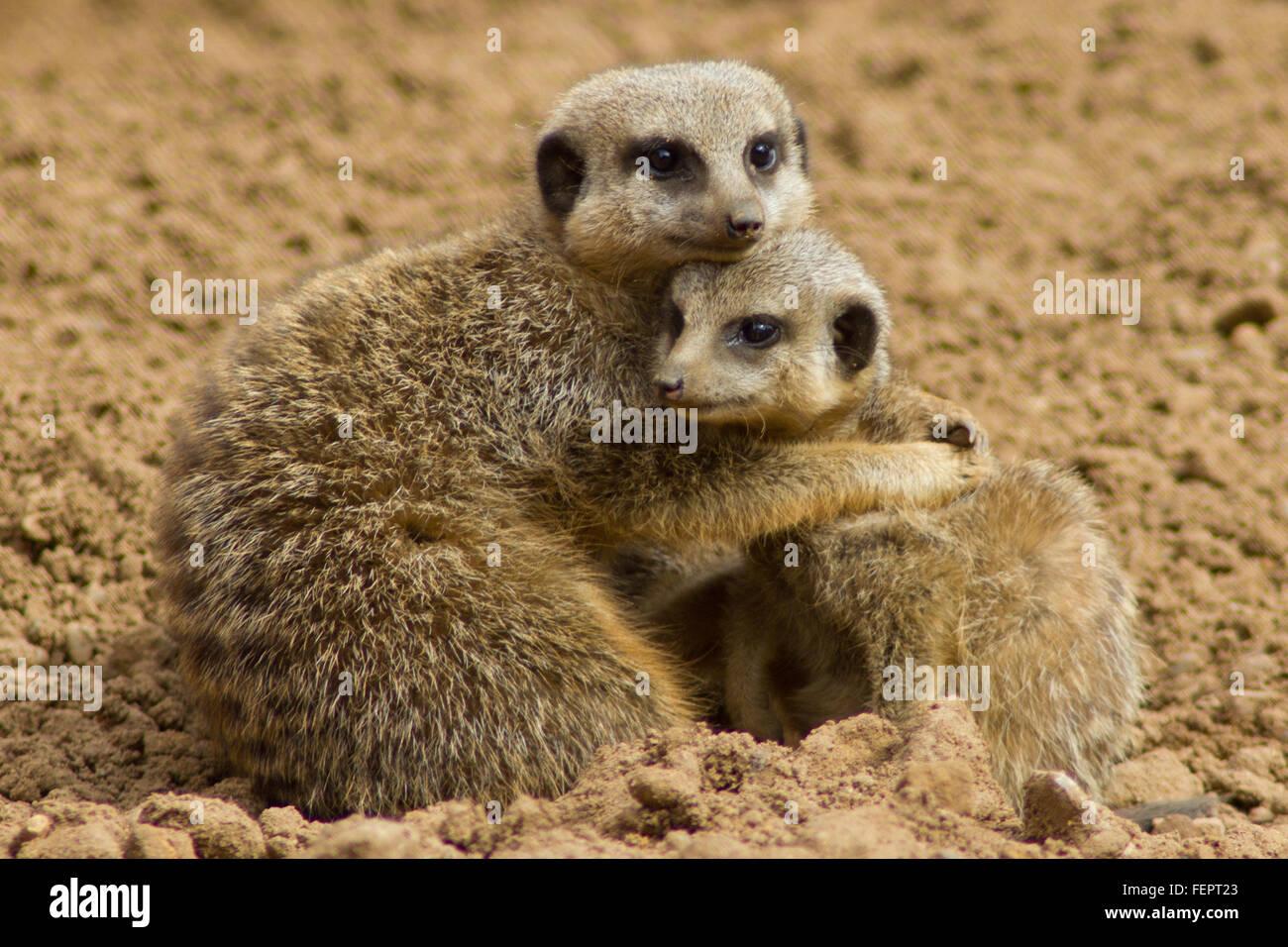Meerkat hug - Stock Image