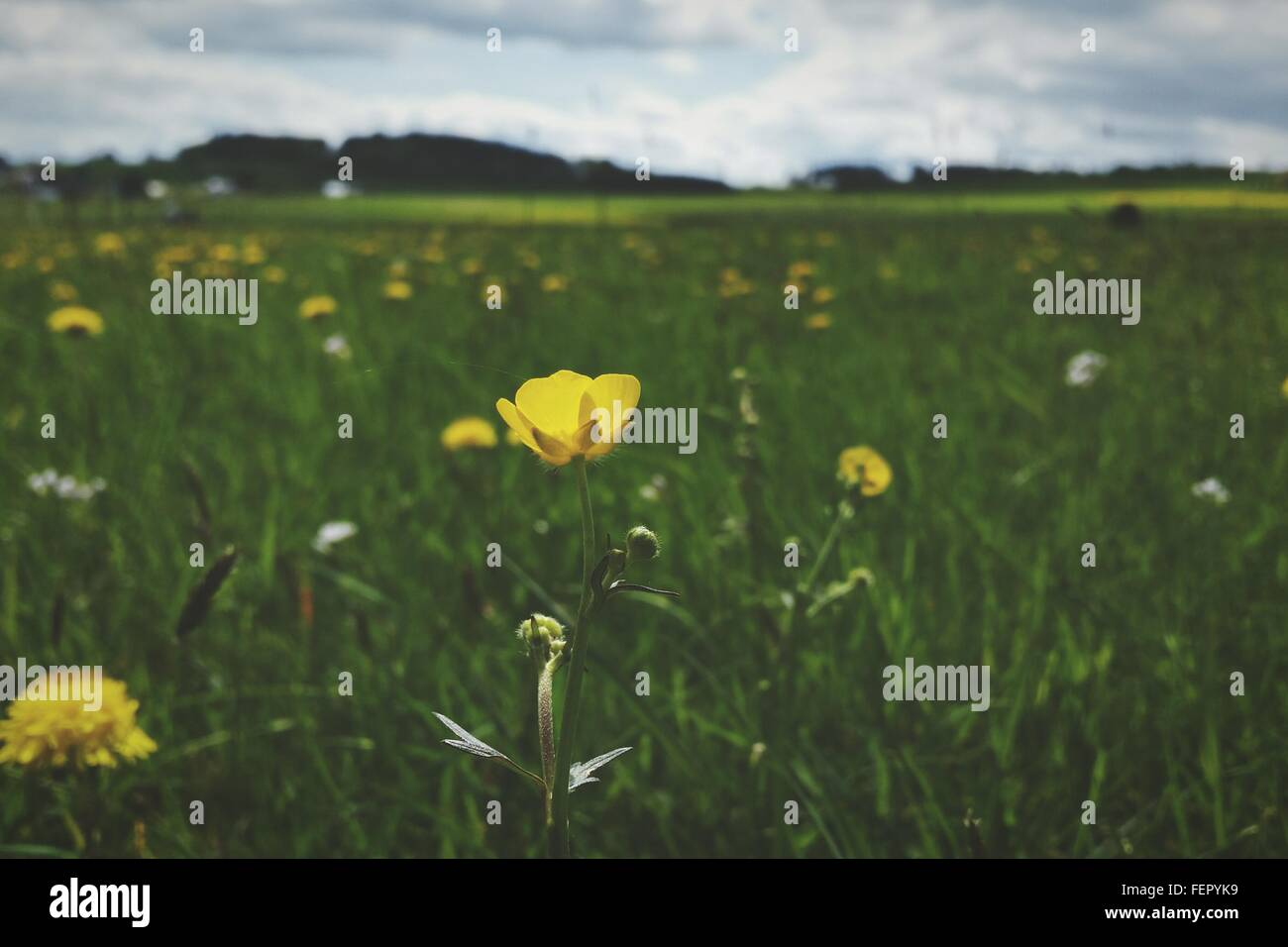 Yellow Flowers Growing In Field Stock Photo