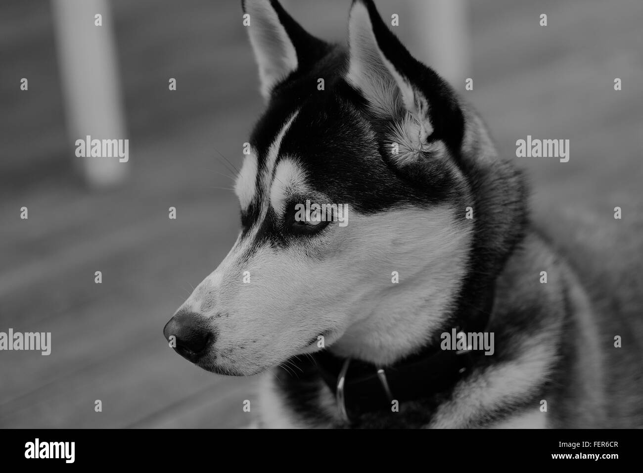 Close-Up Of Siberian Husky - Stock Image