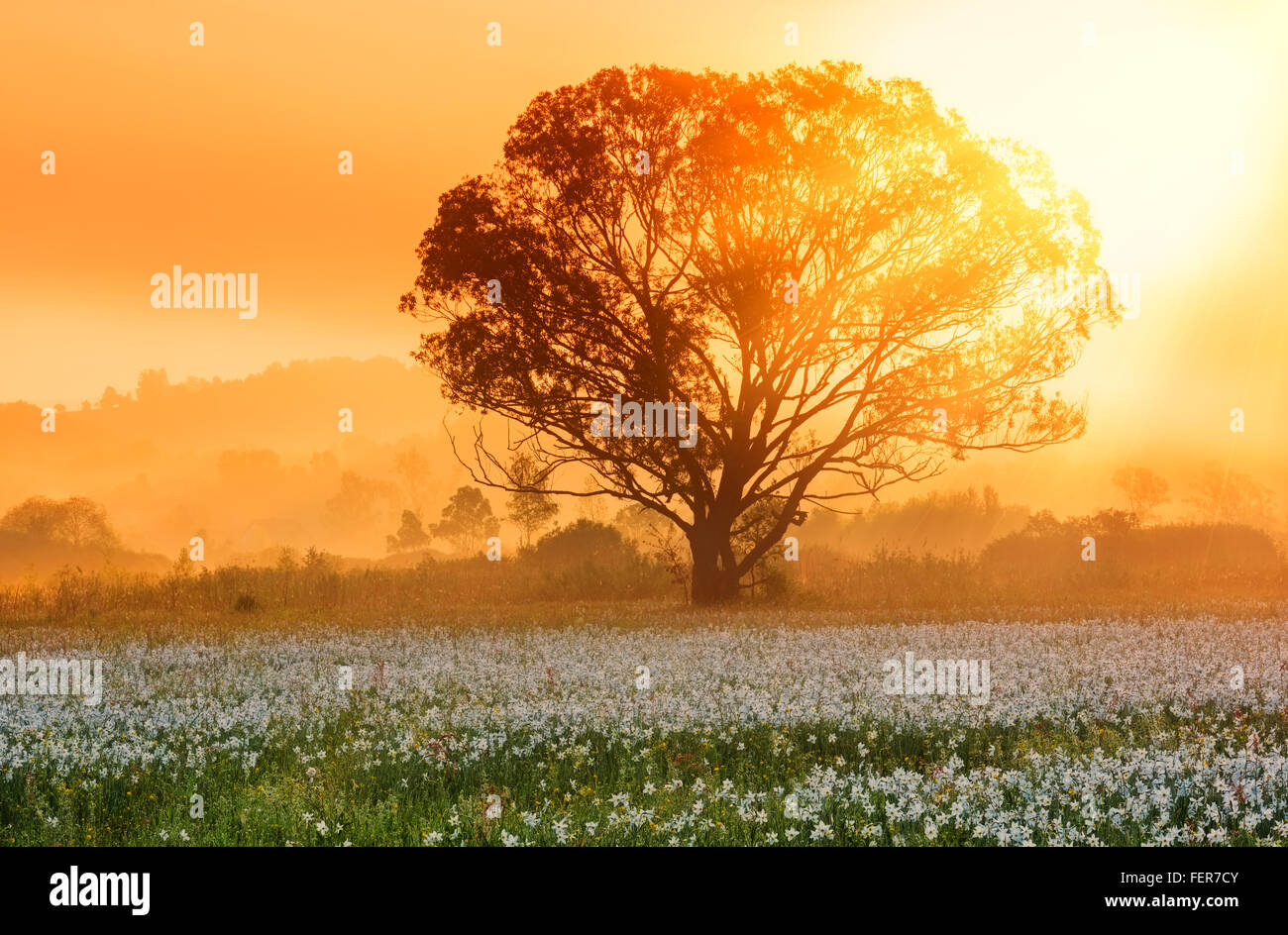 Beautiful sunny landscape with single tree and the valley of white beautiful sunny landscape with single tree and the valley of white flowers daffodils nature floral background izmirmasajfo