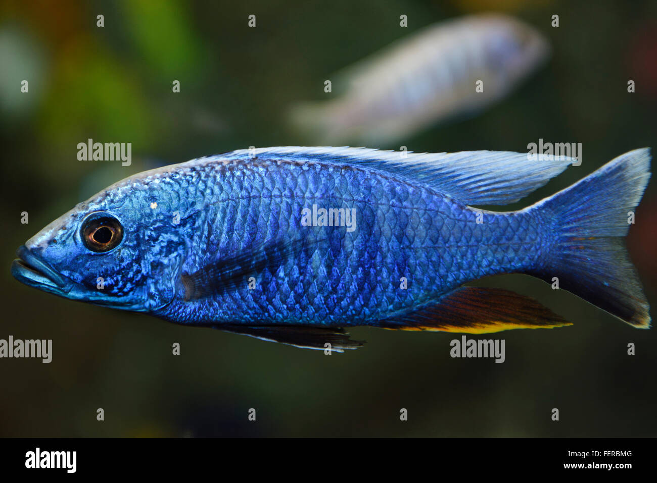 Electric Blue Hap African Cichlid in a freshwater Ripleys Aquarium Toronto - Stock Image