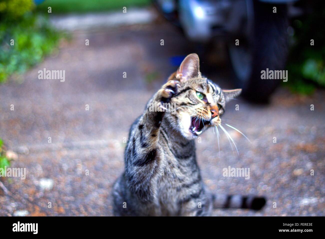 Close-Up Of Angry Tabby Cat Outdoors - Stock Image