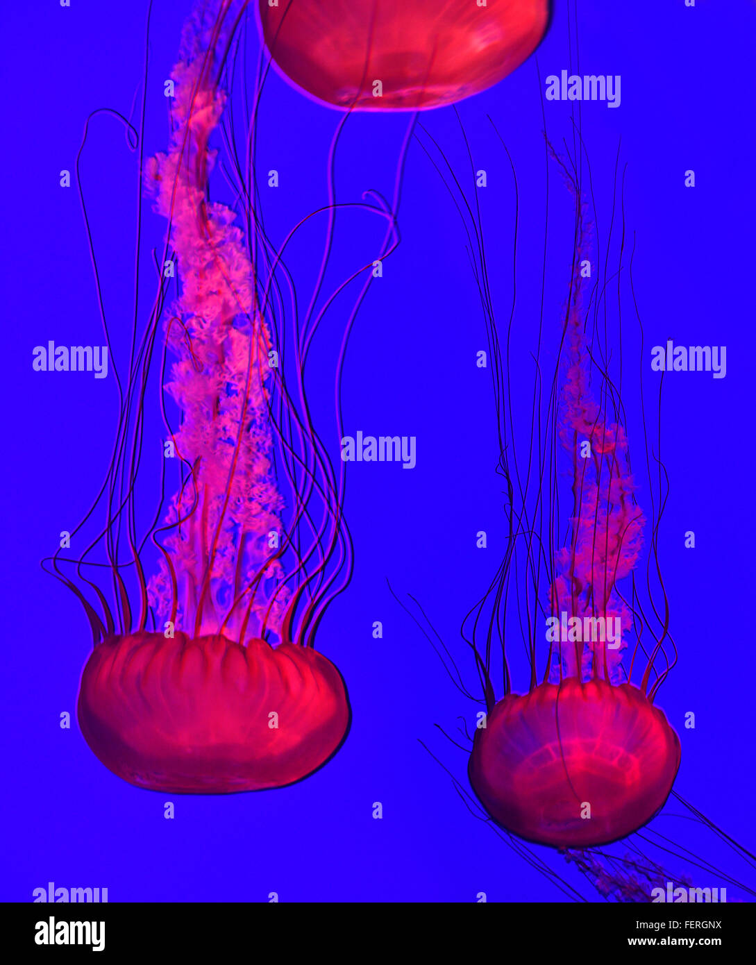 Pacific sea nettles in red light with long stinging tentacles swimming in Ripleys aquarium Toronto Stock Photo