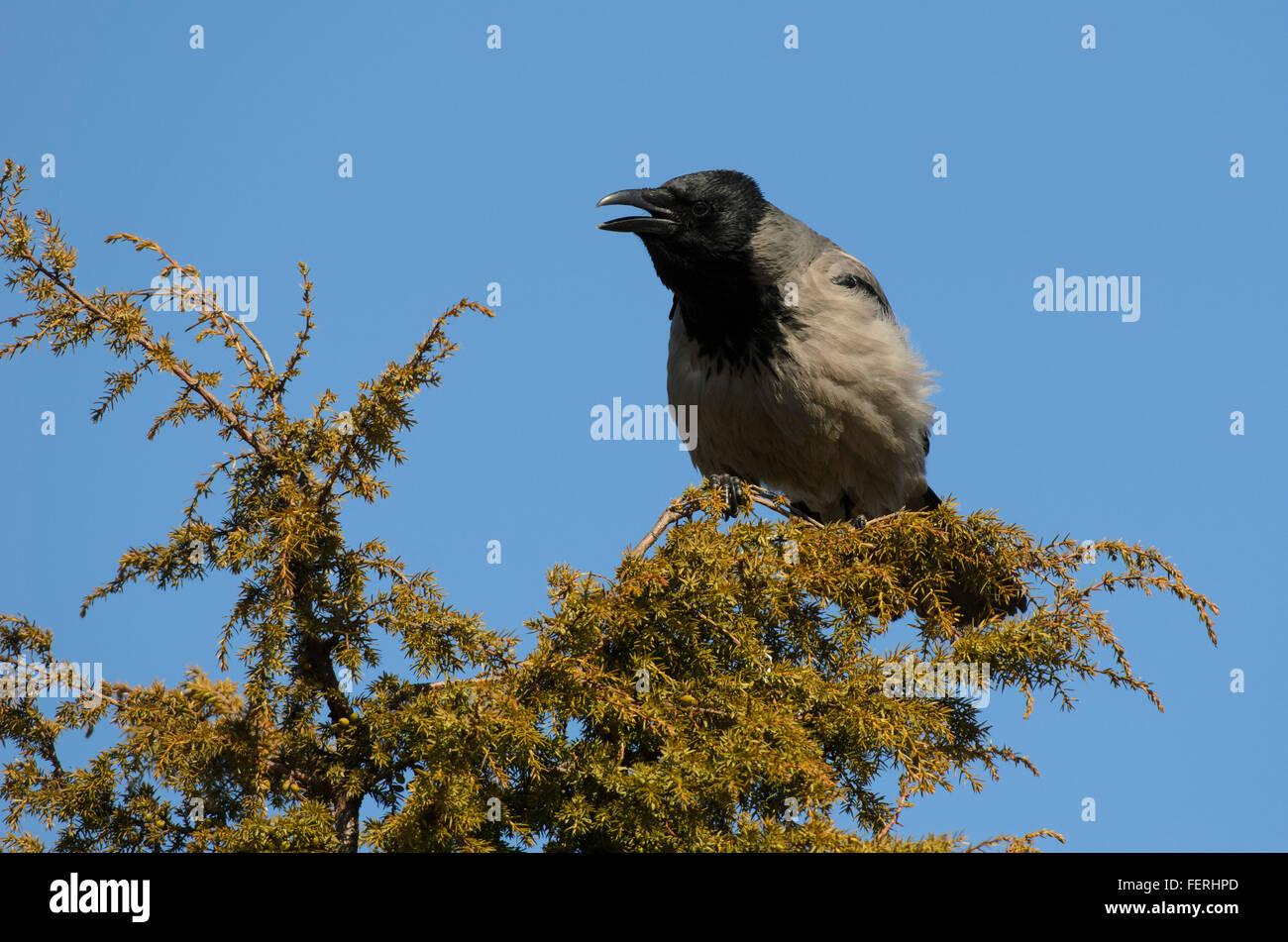 Hooded Crow Corvus cornix sitting on treetop and croaking - Stock Image