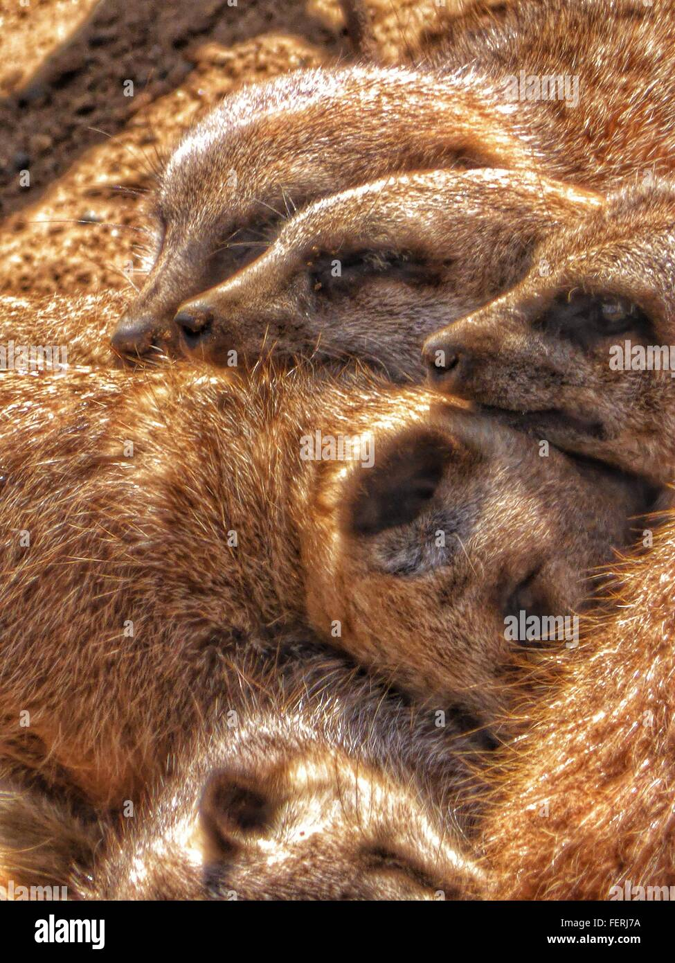 High Angle View Of Meerkats At Zoo Stock Photo