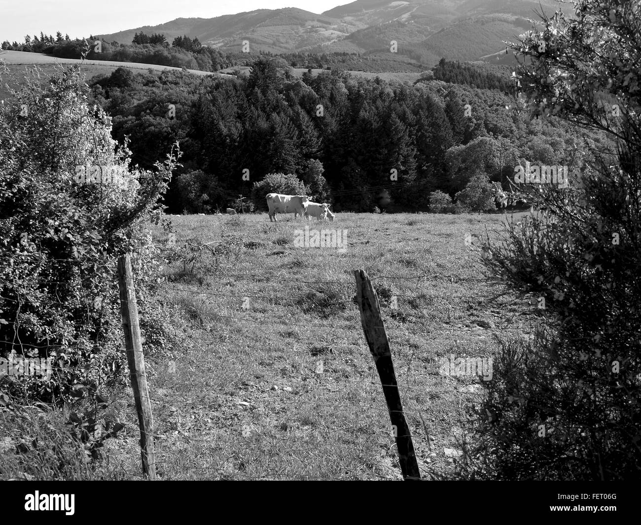 Cows In Farm Field With Barbed Wire Fence - Stock Image