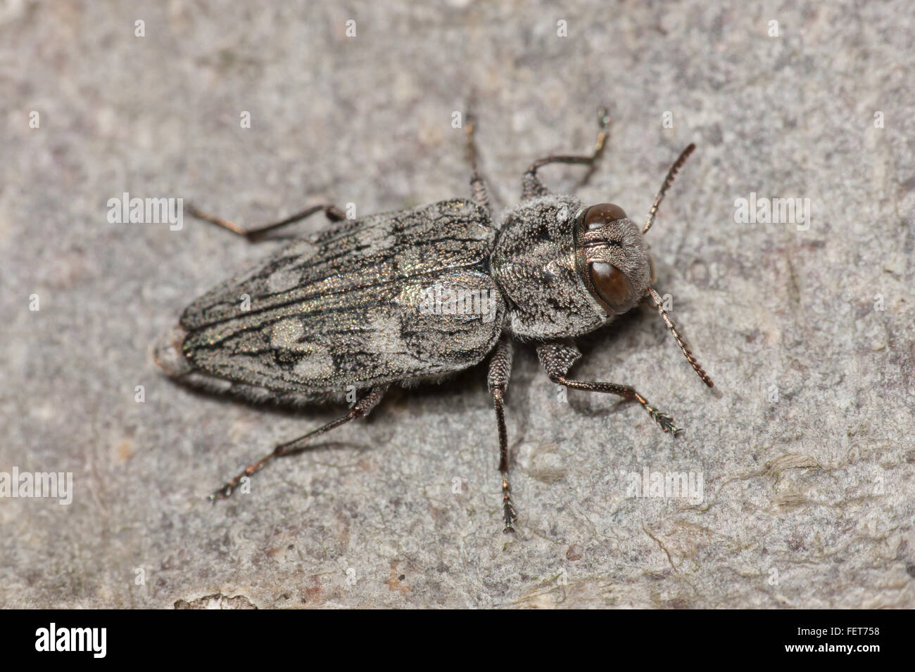 Metallic Wood-boring Beetle (Chrysobothris rugosiceps) perches on a log. - Stock Image