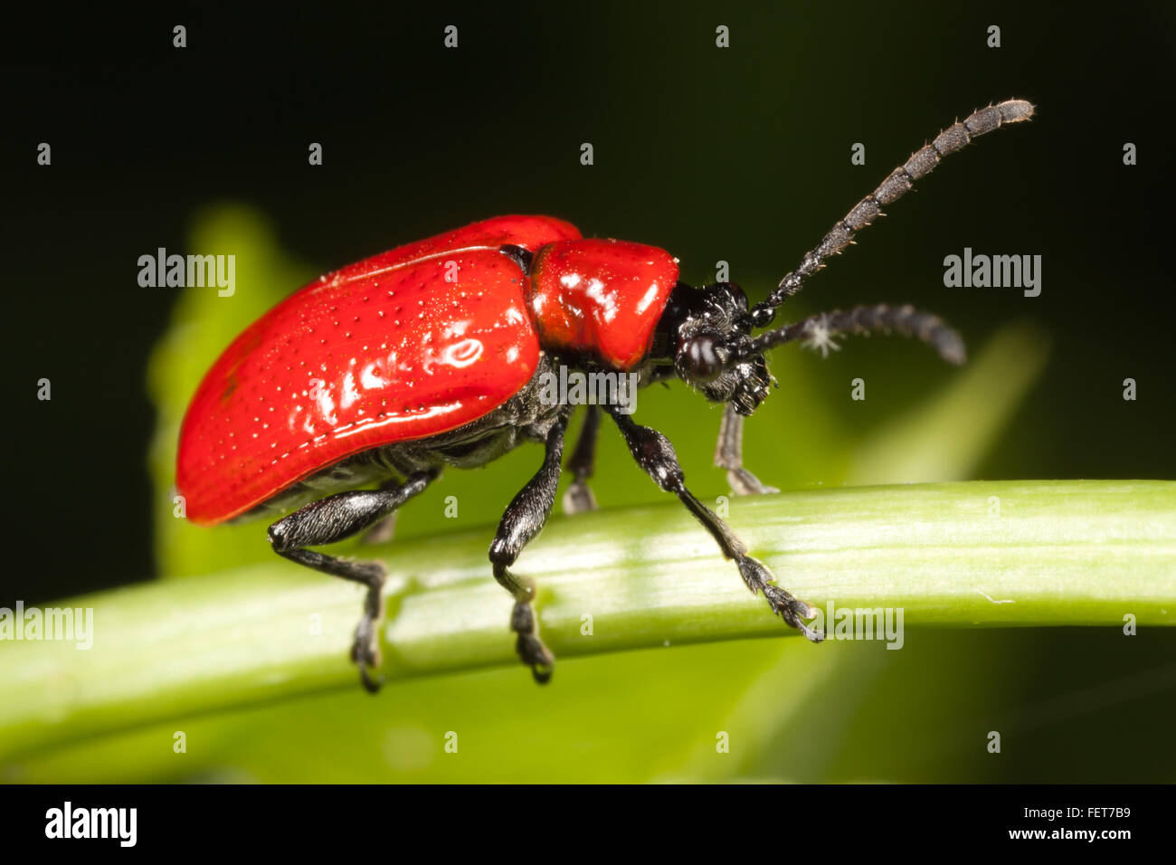 A Lily Leaf Beetle (Lilioceris lilii) perches on a plant stem. - Stock Image