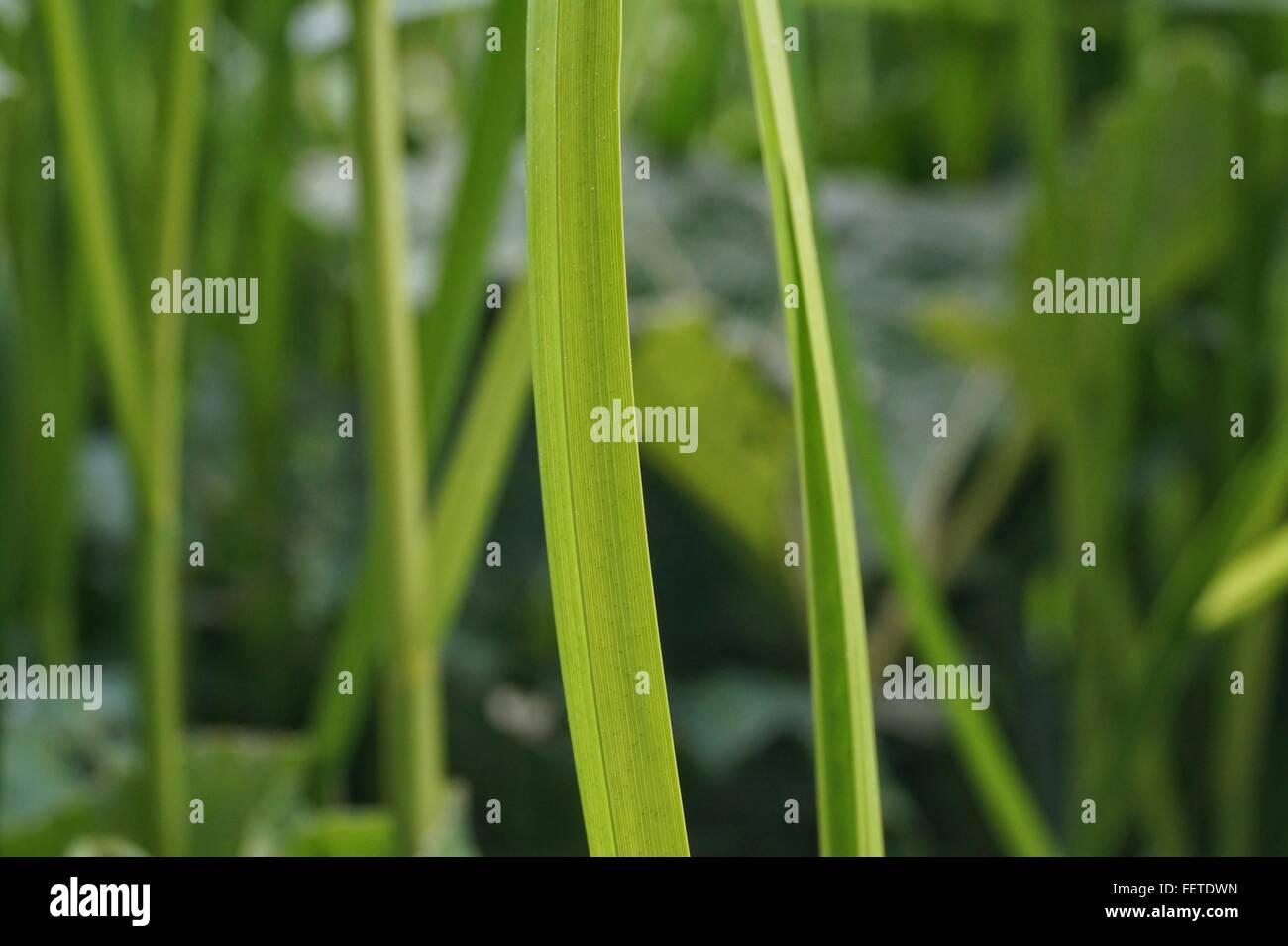 Close Up Of Grass Blade - Stock Image