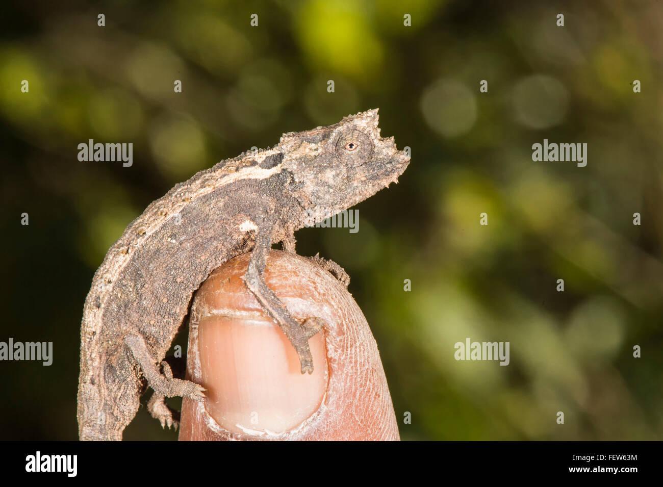 Dwarf Chameleon Stock Photos Dwarf Chameleon Stock Images Alamy