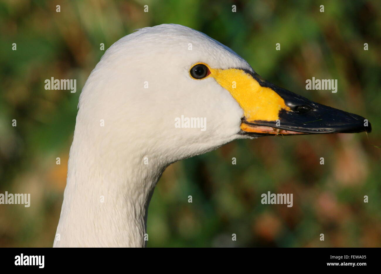 Portrait closeup of a male Eurasian Bewick's Swan (Cygnus bewickii, Cygnus columbianus bewickii) Stock Photo