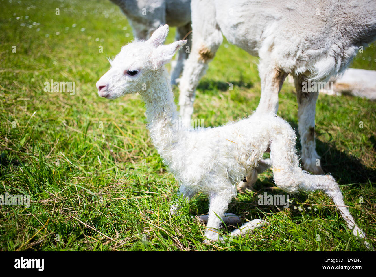 Alpaca Trying To Stand Grassy Field - Stock Image