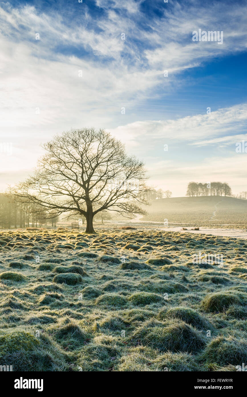Winter tree at Petworth Park, West Sussex - Stock Image