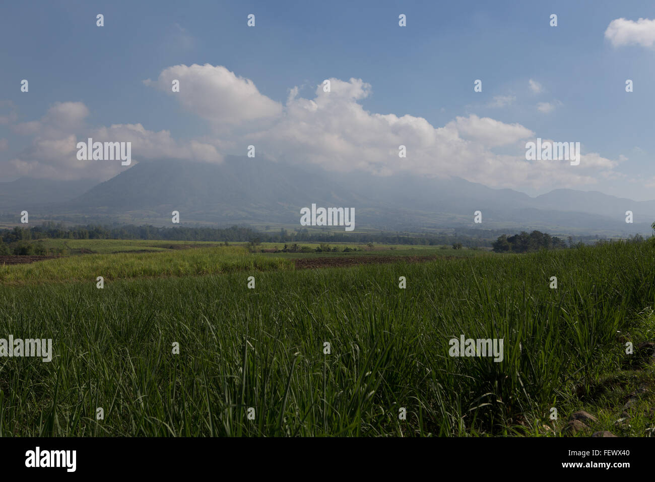 Sugarcane,one of the main agricultural industries on the Island of Negros,Philippines - Stock Image