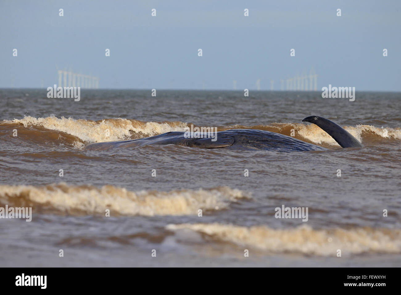 Sperm Whale (Physeter macrocephalus) - Stock Image