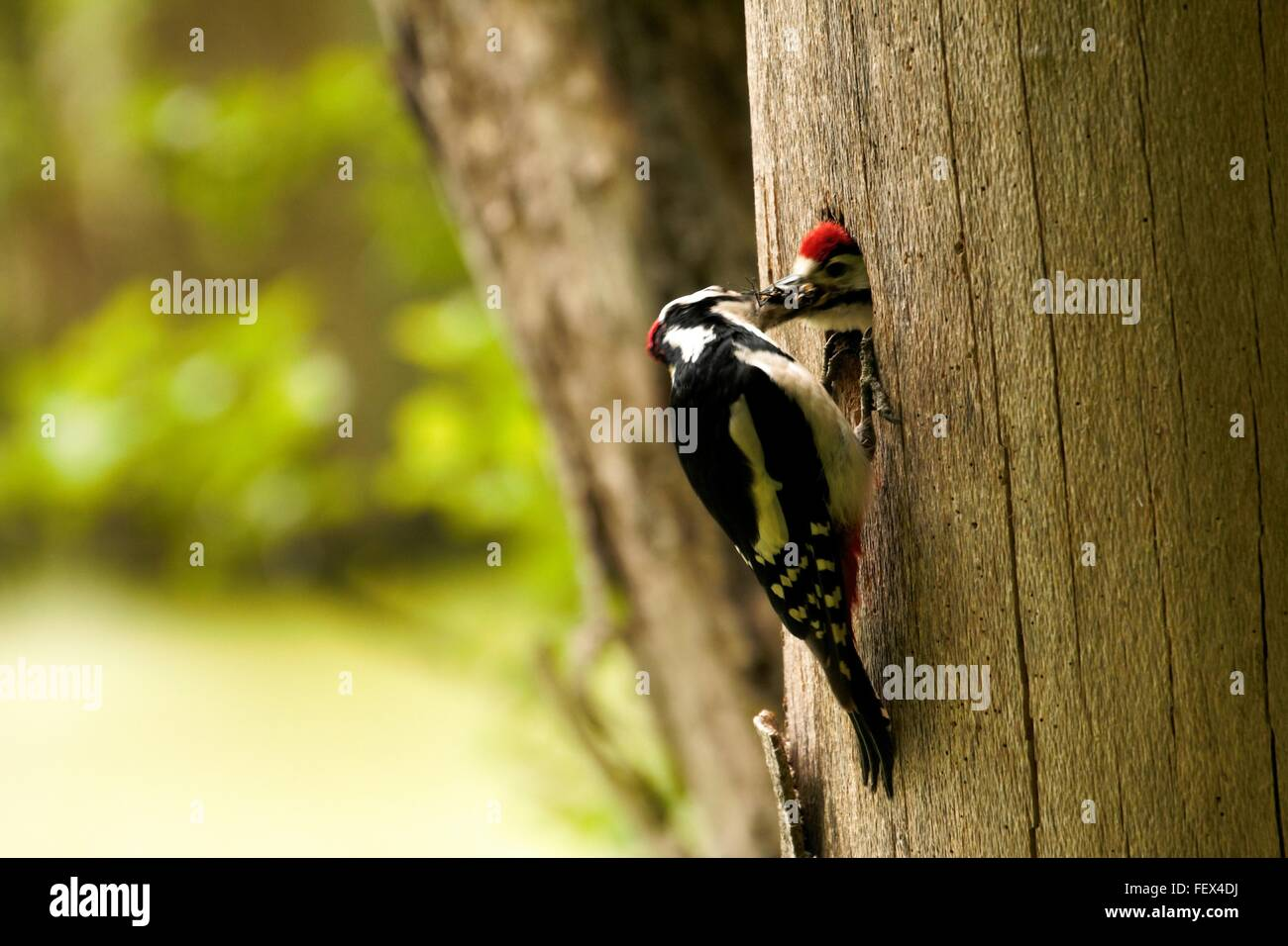 Close-Up Of Woodpeckers On Tree Trunk - Stock Image
