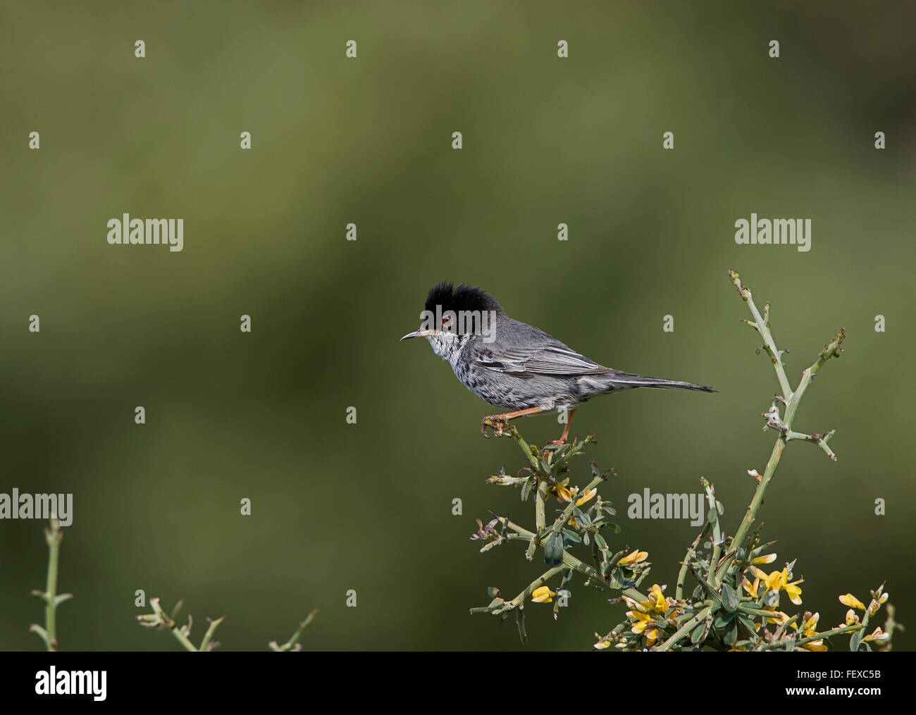 Cyprus Warbler Sylvia melanothorax adult male on territory Anarita Cyprus Stock Photo