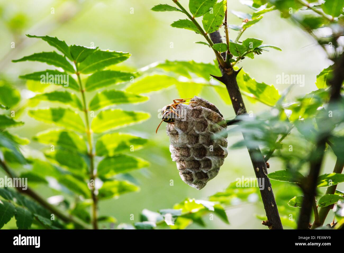Close-Up Of Bee On Honeycomb - Stock Image
