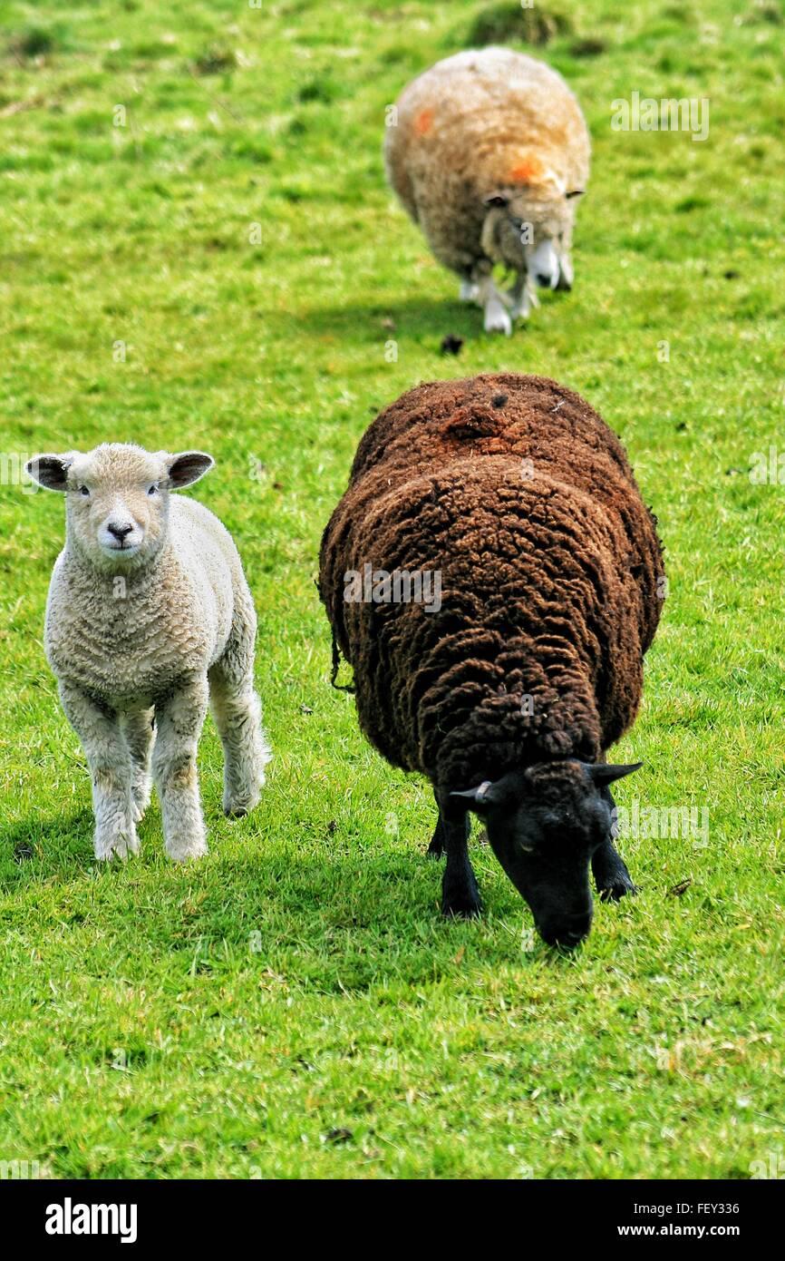 Sheep And Lamb On Grassy Field Stock Photo